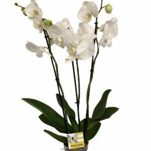 orchidee 3 tak