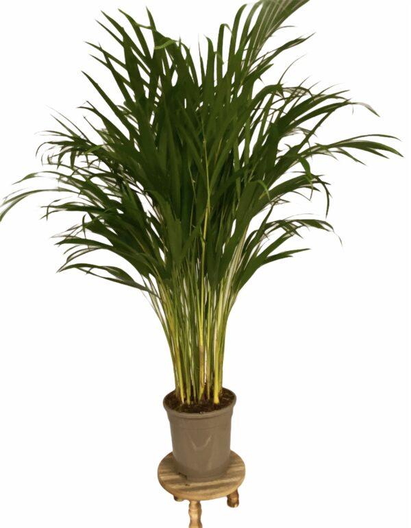 Areca palm potmaat 24cm