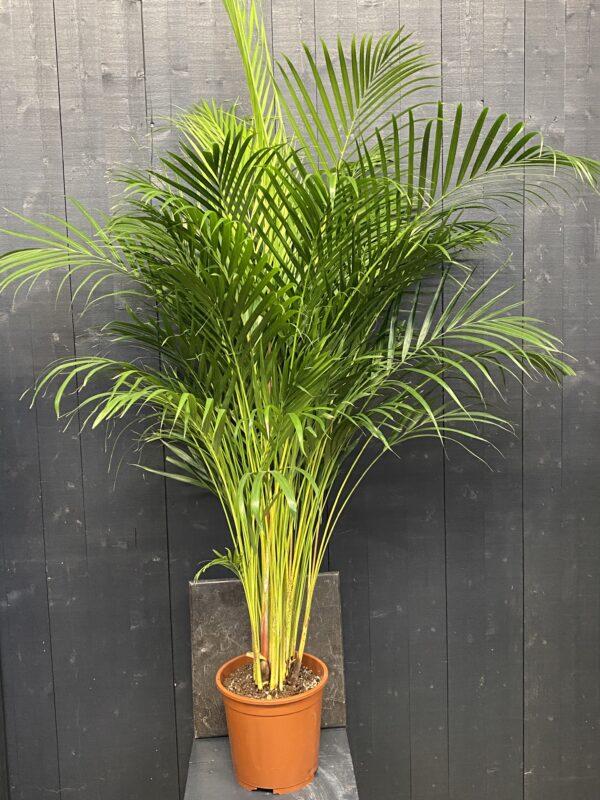 Areca palm potmaat 25cm