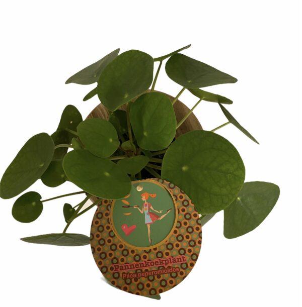 Pannenkoekplant bovenaf