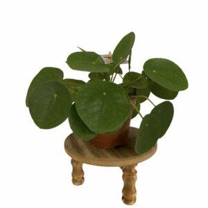 Pannenkoekplant p 12