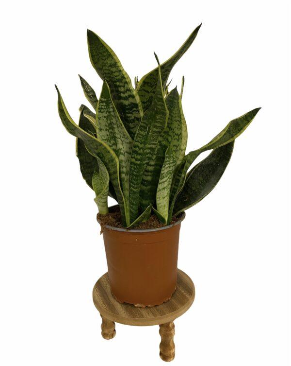 Sanseveria pot 15cm kort